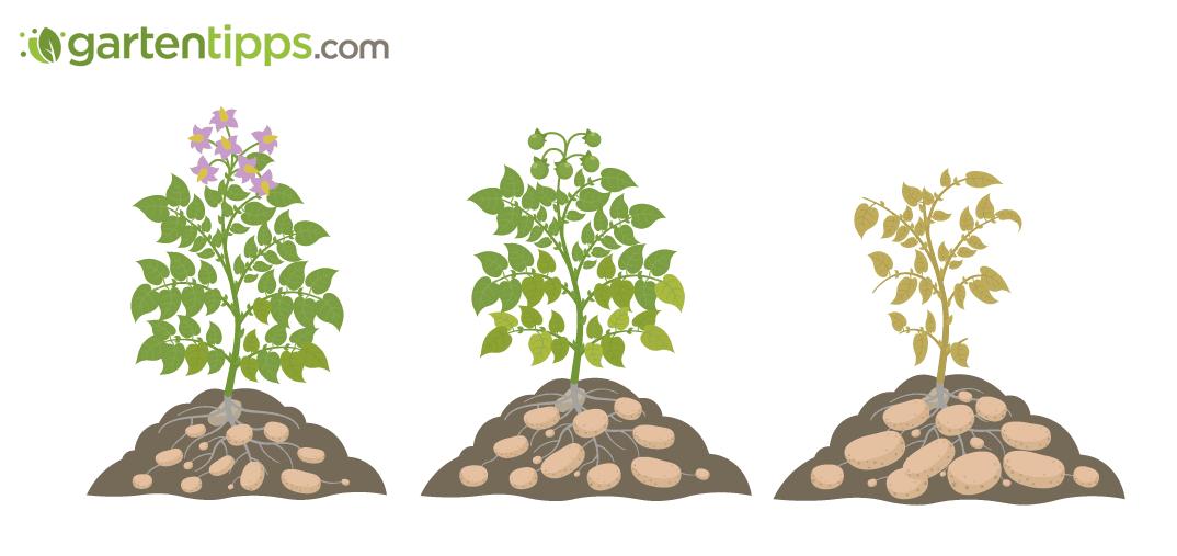 Kartoffeln pflanzen: Anleitung bis zur Ernte