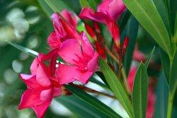 Vermehren Sie Ihren Oleander über Schnittgut
