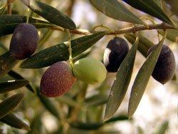 Olivenbäume sind sehr pflegeleicht