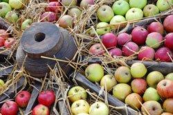 In Äpfeln findet man meist Apfelwickler