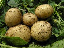 Kartoffeln kann man im Februar vortreiben