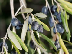 Olivenbaum pflegen