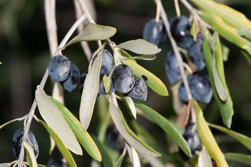 Olivenbaum Pflegen Olivenbaume Lieben Sonne