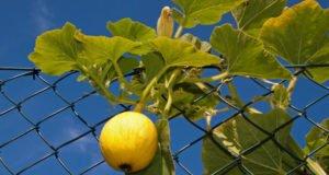 Rankhilfe Gemüse