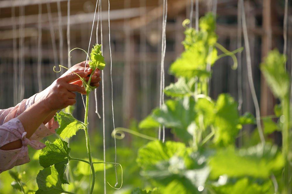 Rankhilfe Gemüse - Seile