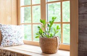 Zamioculcas auf der Fensterbank