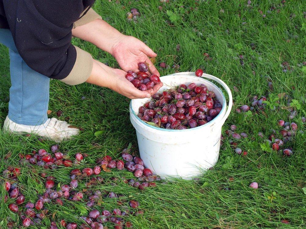Gartenarbeit September - Fallobst entfernen