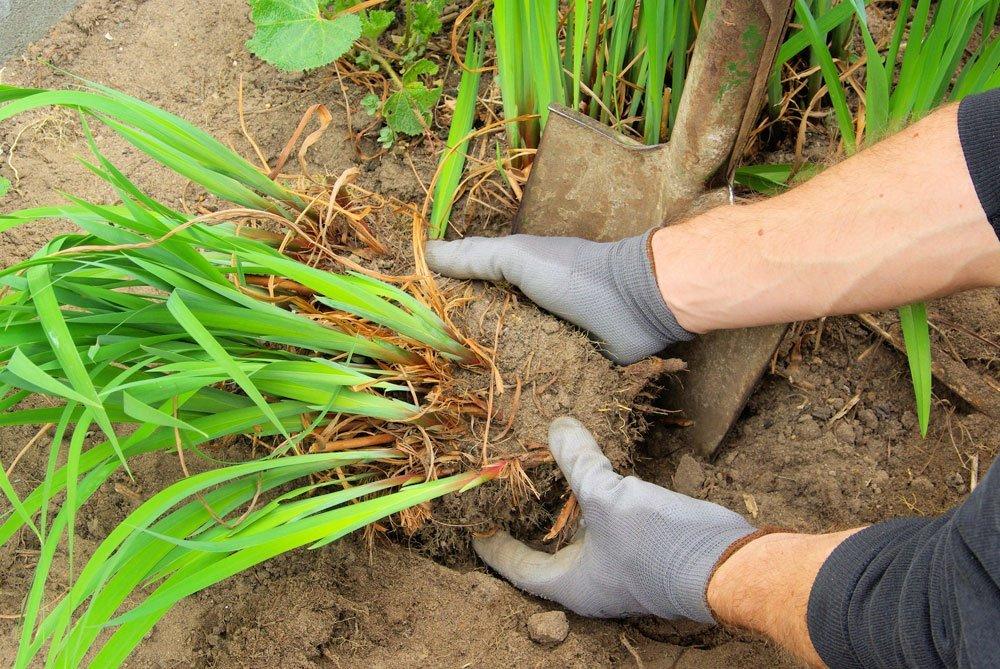 Gartenarbeit September - Stauden teilen
