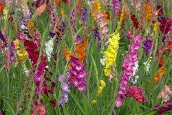 Pflanzen Sie Gladiolen zeitversetzt