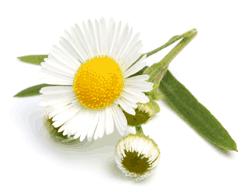 Kamille - Gut bei Magen- und Darmbeschwerden