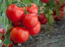 Tomaten sind sehr empfindlich