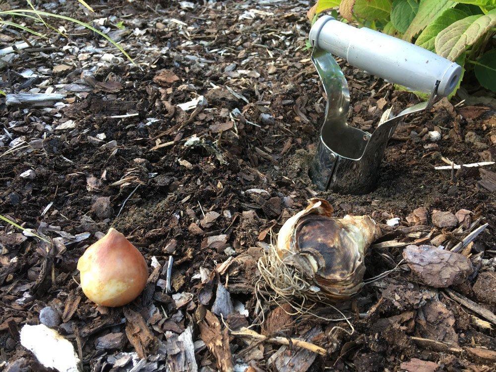 Zwiebelpflanzer Tief In Der Erde Versenken