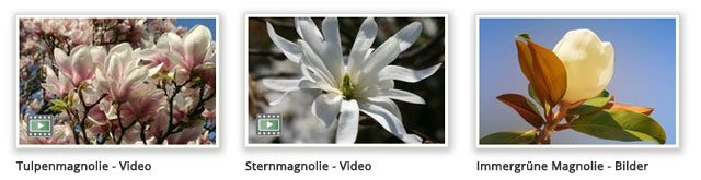 Beliebte Magnolien