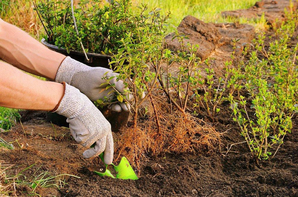 Ligusterhecke pflanzen – So wird's gemacht