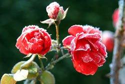 Rosen überwintern - Tipps für die kalte Jahreszeit
