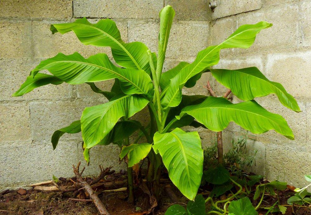 Winterharte Bananenstauden – Anbau und Pflege