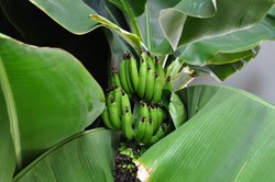 Exotisches Flair durch Bananenstauden