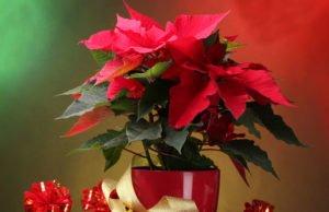 Weihnachtsstern pflegen