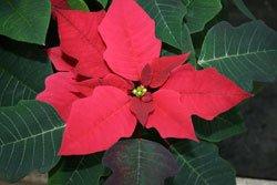 Weihnachtssterne sind mehrjährige Pflanzen