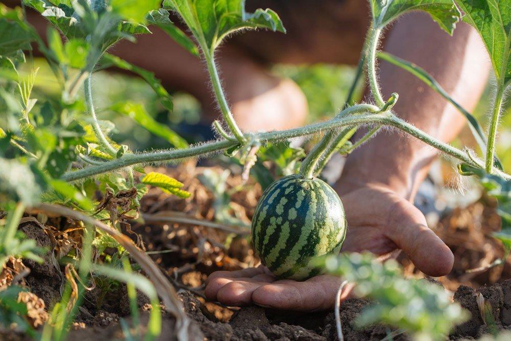 Melonen anbauen