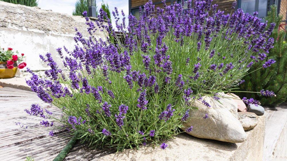 Lavendel anbauen