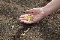 Zuckererbsen anbauen – So wird's gemacht