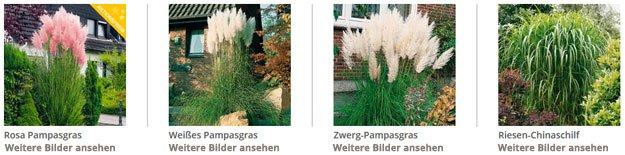 pampasgras pflanzen – so wird's gemacht, Garten und erstellen
