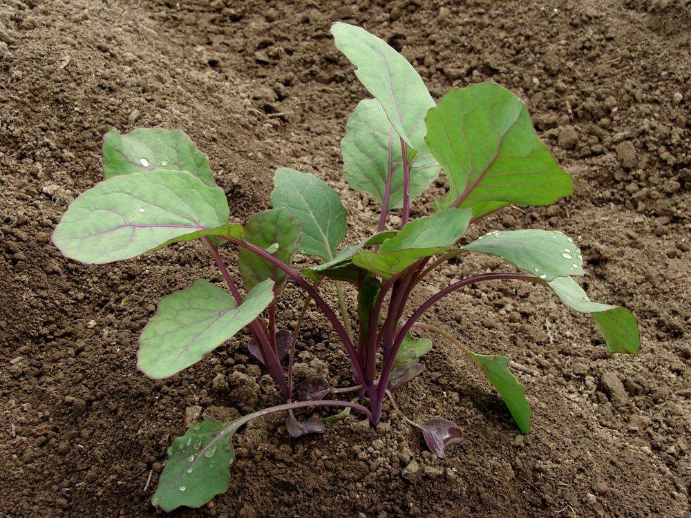 Rosenkohl pflanzen