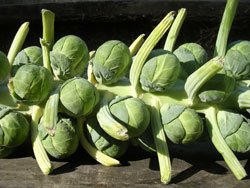 Rosenkohl pflanzen so wird s gemacht