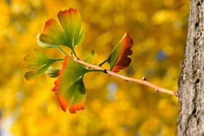 Im Herbst färben sich die Blätter goldgelb-orange
