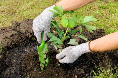 Bei der Freilandpflanzung sollte der Ginkgo mindestens 6 Jahre alt sein