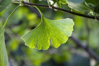Die Blätter des Ginkgobaumes sehen toll aus