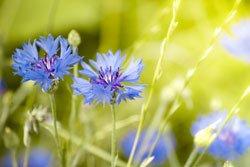 Man kann die Kornblume als Heilpflanze nutzen