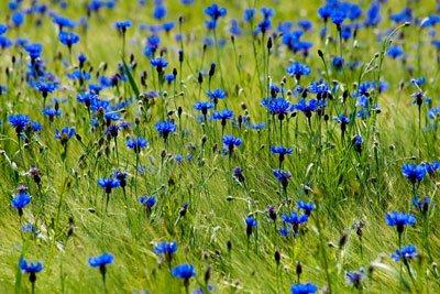 Kornblumen während der Wachstumsphase nicht düngen