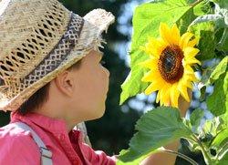 Zwergsonnenblumen können auch Kinder anpflanzen