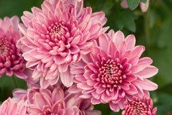 Chrysanthemen sind ein toller Herbstblüher