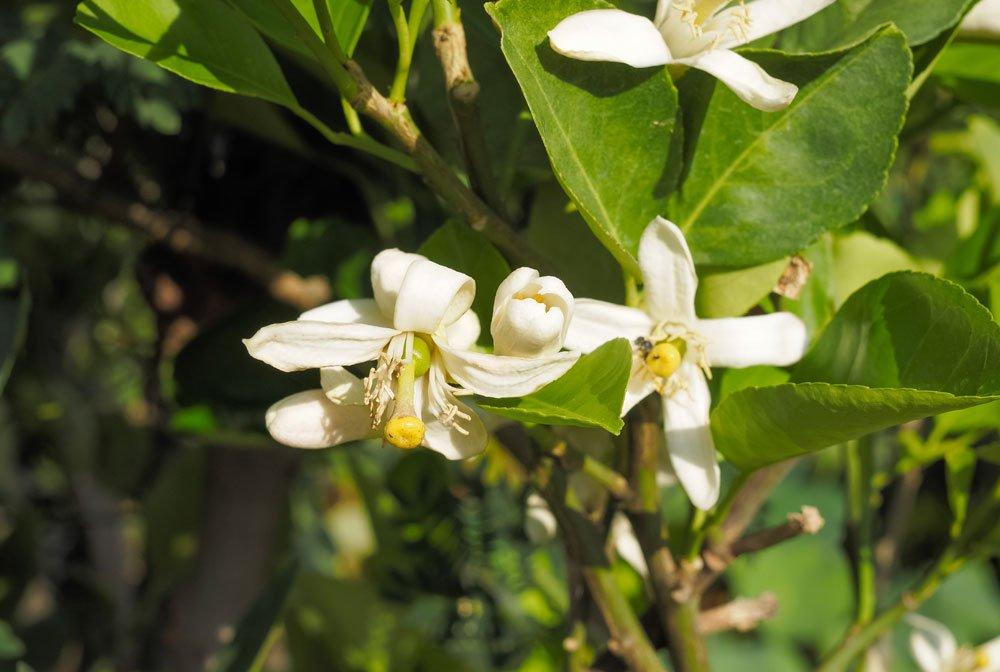 Limettenbaum Blüte