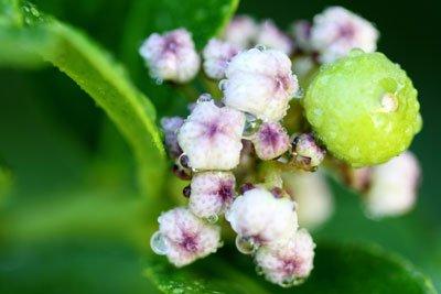 Von Mai bis Juni blüht der Limettenbaum