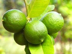 Limettenbäume werden bei uns als Kübelpflanze angeboten