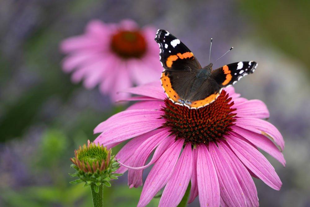 Roter Sonnenhut Schmetterlinge
