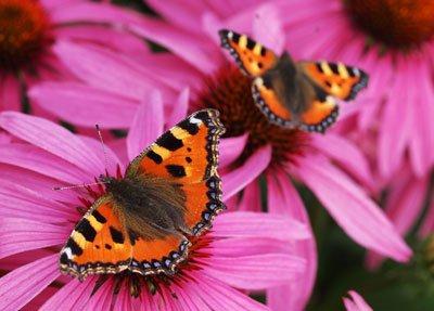 Der Rote Sonnenhut zieht Schmetterlinge magisch an