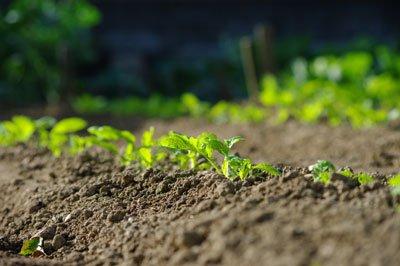 Decken Sie die Keimlinge die ersten Wochen mit einer Gartenfolie ab