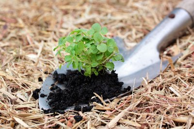 Decken Sie Geranien im Winter z.B. mit Stroh und Reisig ab