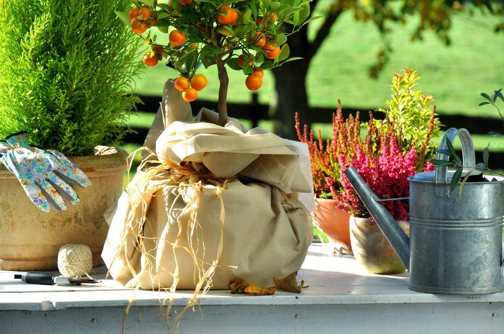 Kübelpflanzen im Winter schützen