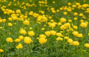 Trollblumen pflanzen