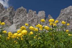Trollblumen lieben feuchte Böden