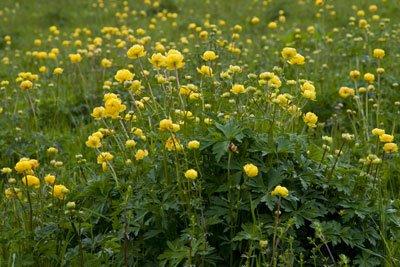 Trollblumen vermehren sich von selbst