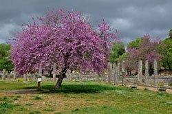 Ein richtiger Blickfang: der Judasbaum