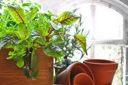 Kräuter können Sie auch auf der Fensterbank anpflanzen