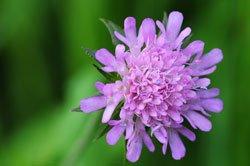 Witwenblumen ziehen Schmetterlinge magisch an